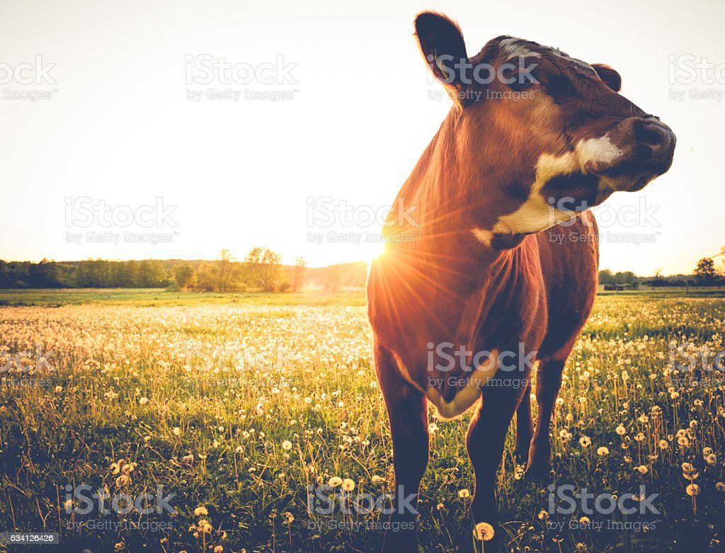 Happy single cow during sunset stock photo