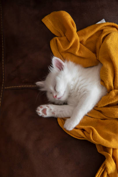 Happy sleeping white cute little kitten, covered with a fluffy blanket stock photo