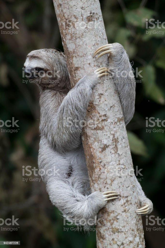 Happy Sloth climbing in a tree stock photo