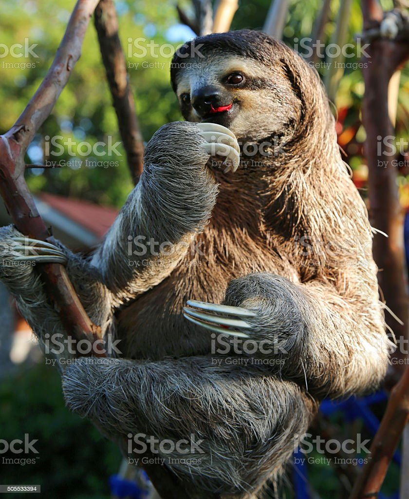 Happy Sloth Eating Hibiscus Flowers Stock Photo More Pictures Of