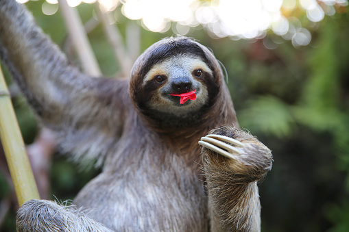 Very happy Sloth couch potato, eating hibiscus flowers. Very shallow depth of field. Rescued Sloth.