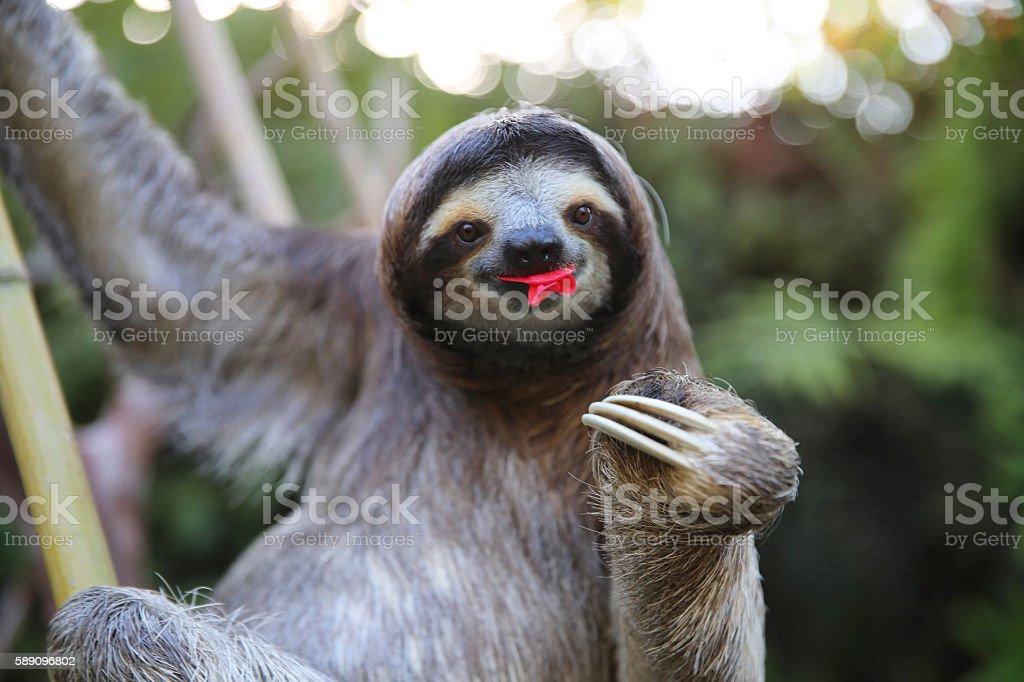Happy Sloth Eating Hibiscus Flowers stock photo