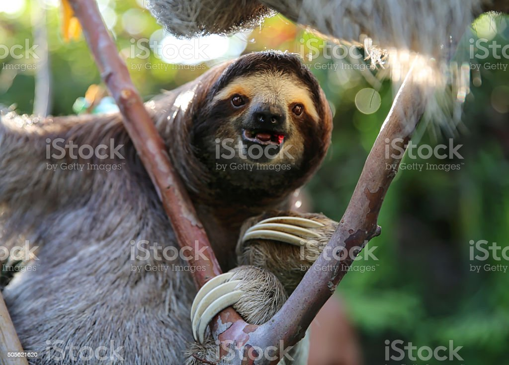 Happy Sloth Hanging Around and Eating Hibiscus Flowers stock photo