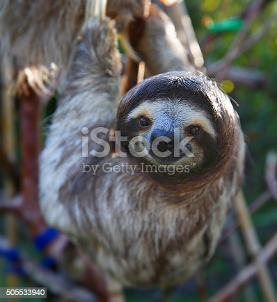 Happy Sloth Hanging Around the Rain Forest.