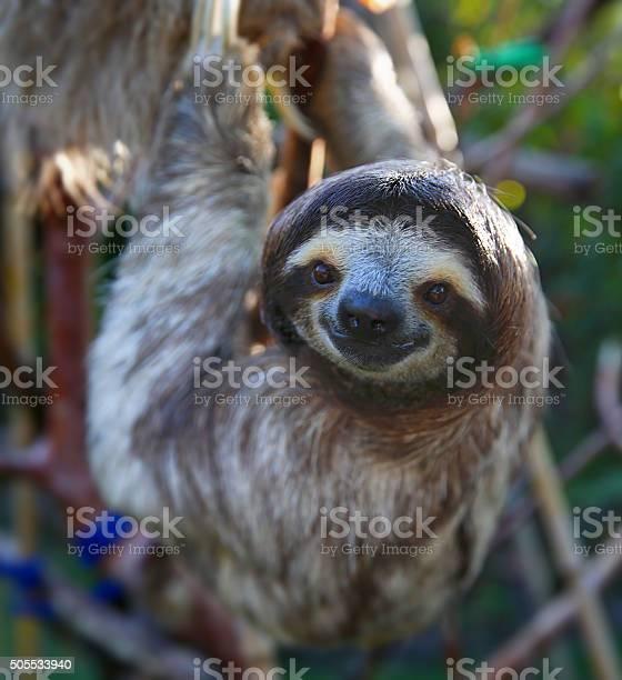Happy sloth hanging around the rain forest picture id505533940?b=1&k=6&m=505533940&s=612x612&h=cshd4fe wqidmfgiqcomts1jlo87hbnj nurpilvgli=