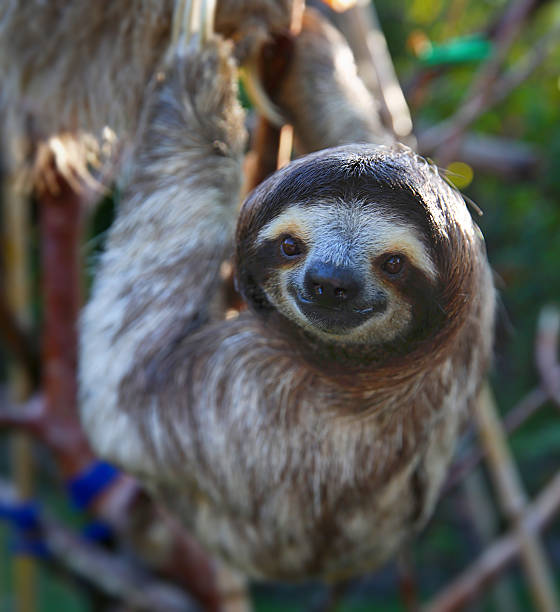 happy sloth hanging around the rain forest - sloth stock pictures, royalty-free photos & images