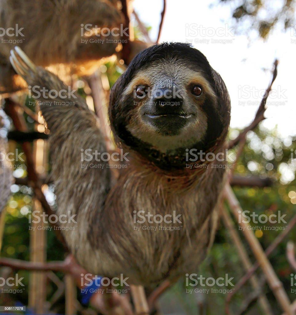 Happy Sloth Hanging Around the Rain Forest stock photo