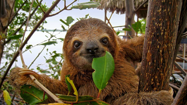 happy sloth - wildlife stock photos and pictures