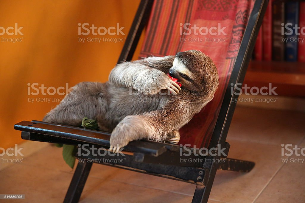 Happy, sloth relaxing in chair and eating Hibiscus Flowers stock photo