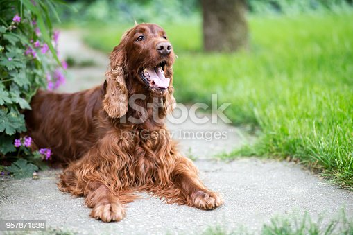 Happy smiling Irish Setter dog lying in the park