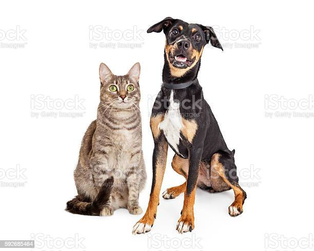 Happy smiling tabby cat and crossbreed dog picture id592685464?b=1&k=6&m=592685464&s=612x612&h=gzplrdkj5wbcx4sp3wae gabmx3nxuudc7qku3ayiso=