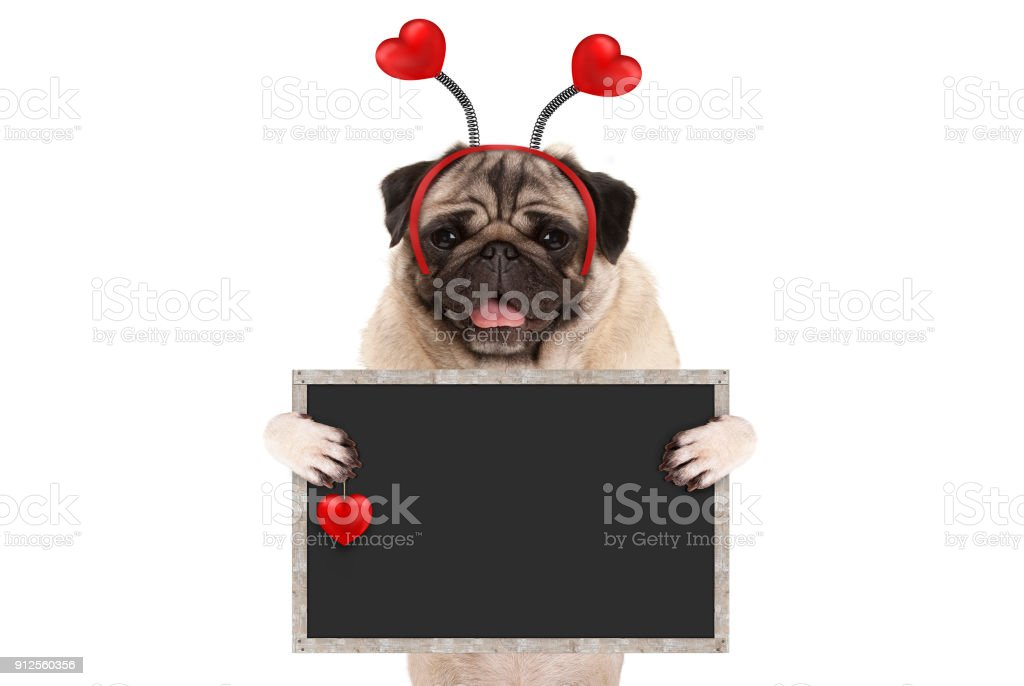 happy smiling Valentine's day pug puppy dog with hearts diadem and blank blackboard sign in paws stock photo