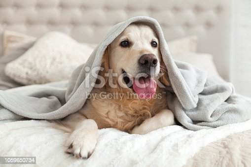 Happy smiling young golden retriever dog under light gray plaid. Pet warms under a blanket in cold winter weather. Pets friendly and care concept.