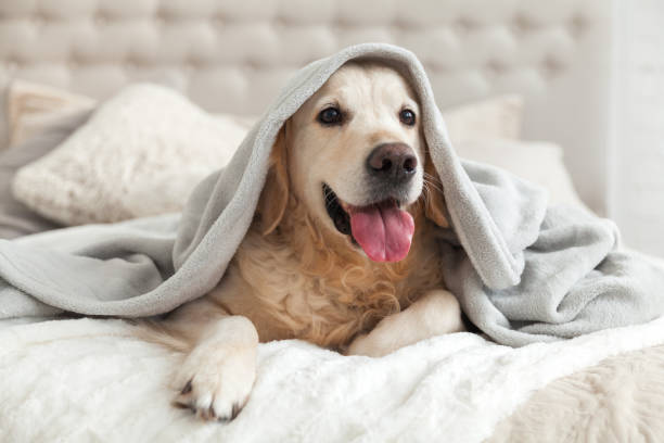 Happy smiling young golden retriever dog under light gray plaid. Pet warms under a blanket in cold winter weather. Pets friendly and care concept. stock photo