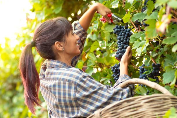 Glücklich lächelnde junge Frau Kommissionierung Trauben – Foto