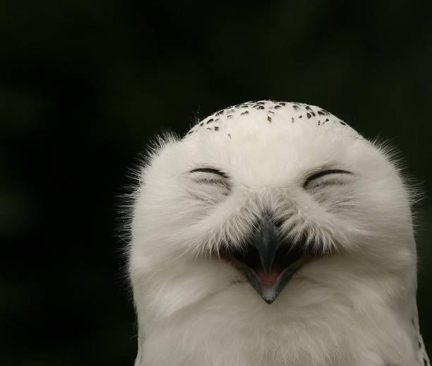 Happy snow owl picture id861765844?b=1&k=6&m=861765844&s=612x612&w=0&h=ckzv22obrnsnkjl5ryxfo nny4kzage4hogwlb5xmfc=