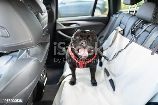 Happy Staffordshire Bull Terrier dog on the back seat of a car with a clip and strap attached to his harness. He is standing on a car seat cover.