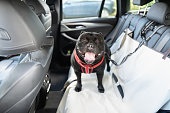 istock Happy Staffordshire Bull Terrier dog on the back seat of a car with a clip and strap attached to his harness. He is standing on a car seat cover. 1267200538