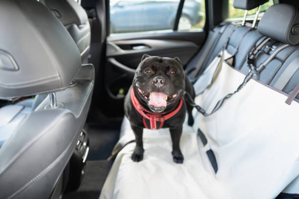 Happy Staffordshire Bull Terrier dog on the back seat of a car with a clip and strap attached to his harness. He is standing on a car seat cover. stock photo