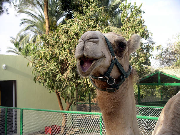 Happy Talking Camel stock photo