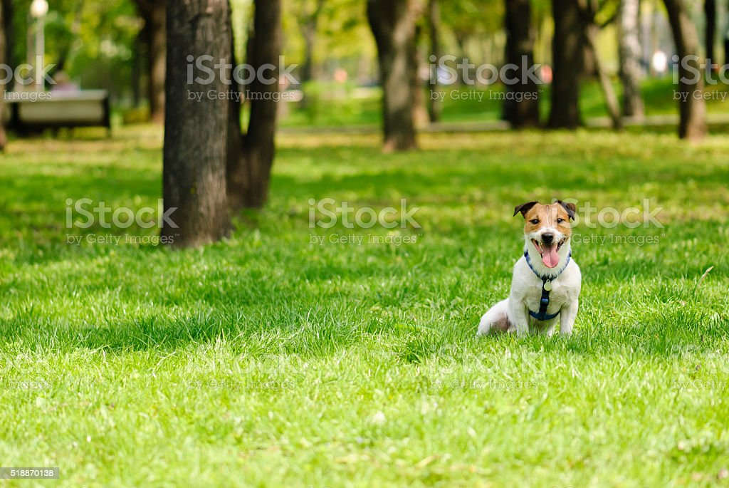 Happy terrier dog sitting on grass at spring park stock photo
