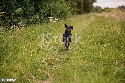 Dalmatian out running in the countryside