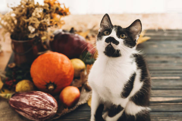 Happy thanksgiving concept cute funny cat sitting at beautiful in picture id1035384284?b=1&k=6&m=1035384284&s=612x612&w=0&h=zniebxabu9eph xycqtaqytbxog8fv5nscomcmauwbo=