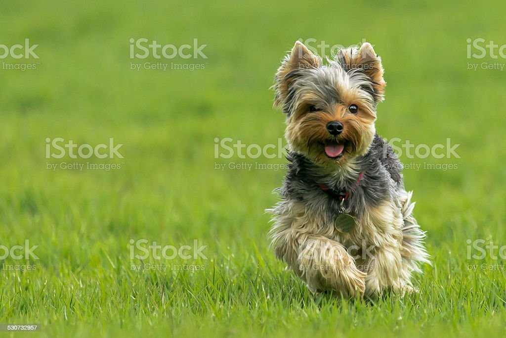 Happy toy dog stock photo