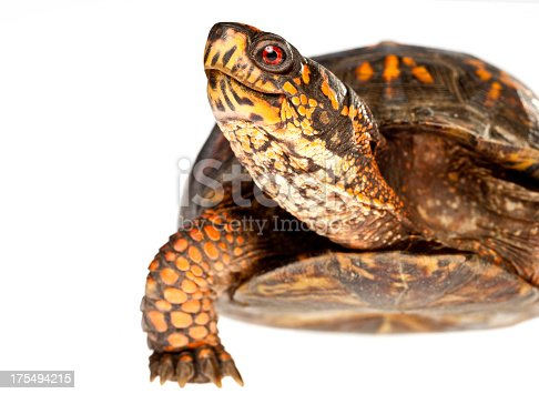 Macro shot of a smiling box turtle.