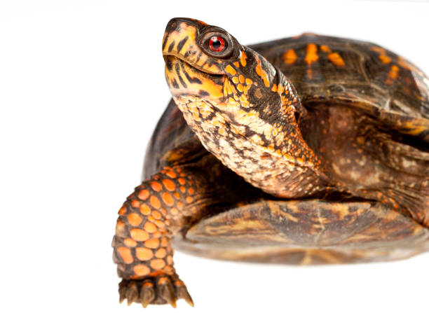Happy Turtle Close Up stock photo