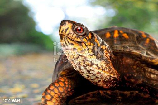 Found this Eastern Box Turtle walking up my sidewalk.