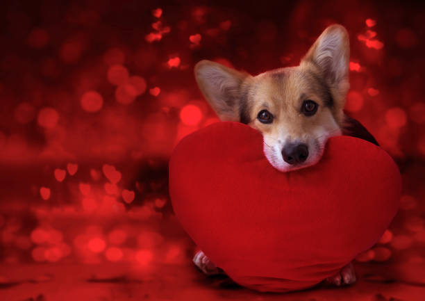 Happy Valentine's Day, my love. Happy Valentine's Day, my love. Lovely loving dog with a red heart. animal valentine stock pictures, royalty-free photos & images