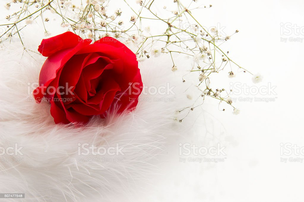 Happy Valentines Day Red Rose Among The White Feathers Stock Photo