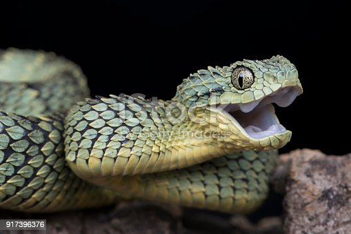 Male Venomous Bush Viper Snake (Atheris squamigera) with Open Mouth and fangs pulled back.