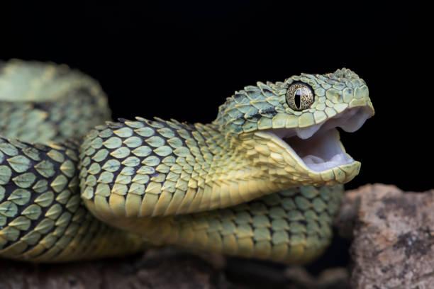 Happy Venomous Bush Viper Snake stock photo