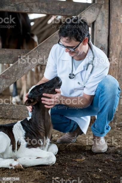 Happy veterinarian examining a calf picture id928917546?b=1&k=6&m=928917546&s=612x612&h=5bqv7mlkfevcsjy3yg cvufso rzsmtcraocktnej44=