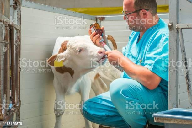 Happy veterinarian injection a calf picture id1168129879?b=1&k=6&m=1168129879&s=612x612&h=ebx bigetzkoagdjgyghiyzz0 wbggj3kszbqz72nsg=