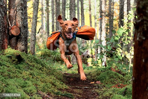 Vizsla running on trail with backpack on.