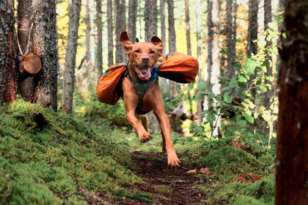 glad hundvalp (sittande) i ryggsäck - hund skog bildbanksfoton och bilder