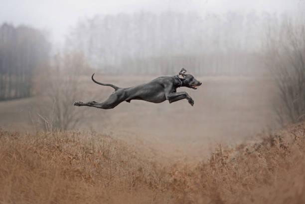 Happy weimaraned dog jumps outdoors in autumn picture id1210517731?b=1&k=6&m=1210517731&s=612x612&w=0&h=tbd3bnkbjyt49cwvyfl1mhvwf4ixgajrxkdahlxi904=