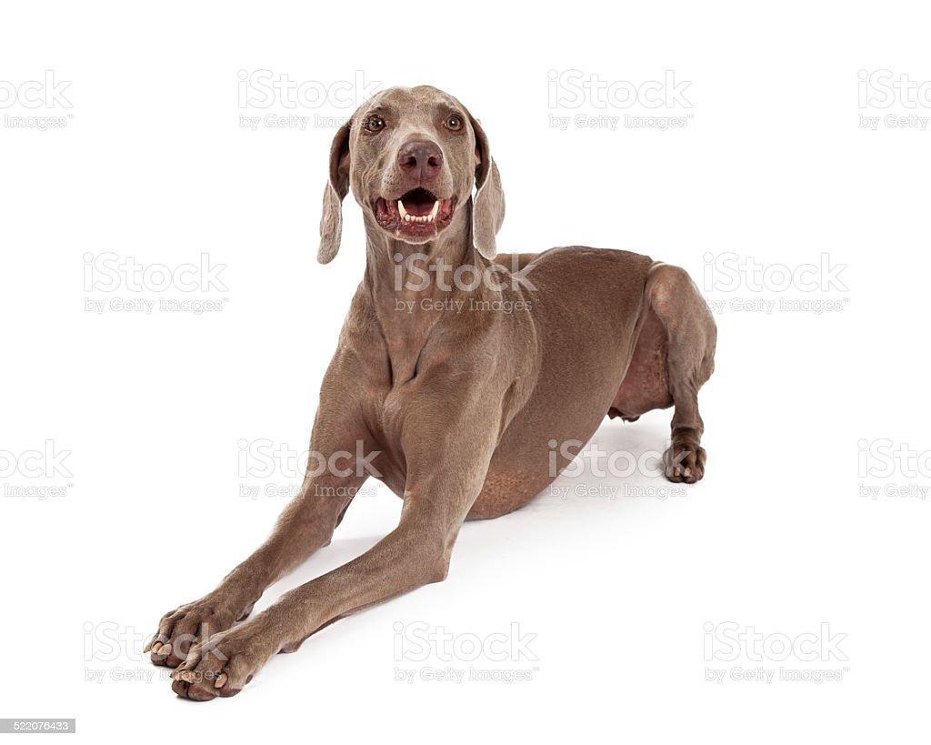 Caractère heureux chien Braque de Weimar - Photo