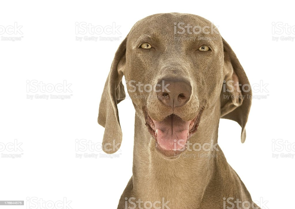 Happy Weimaraner dog stock photo