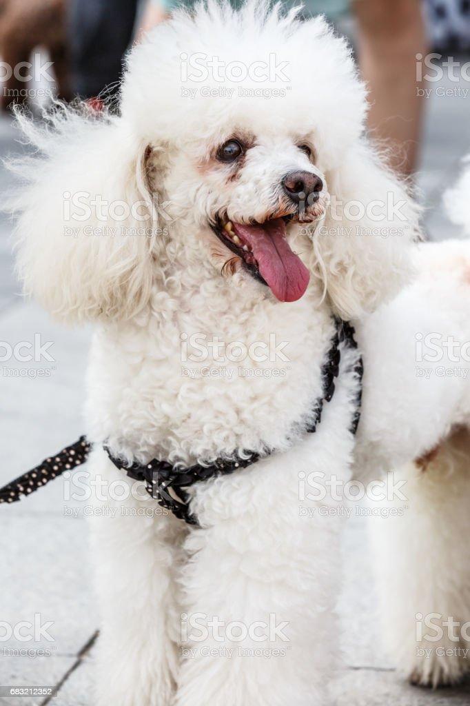 행복 한 화이트 푸 들 강아지 royalty-free 스톡 사진