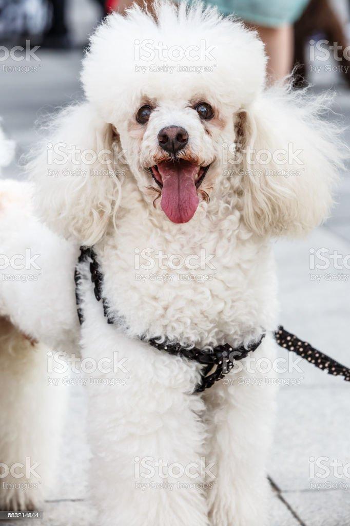 快樂的白色卷毛狗 免版稅 stock photo
