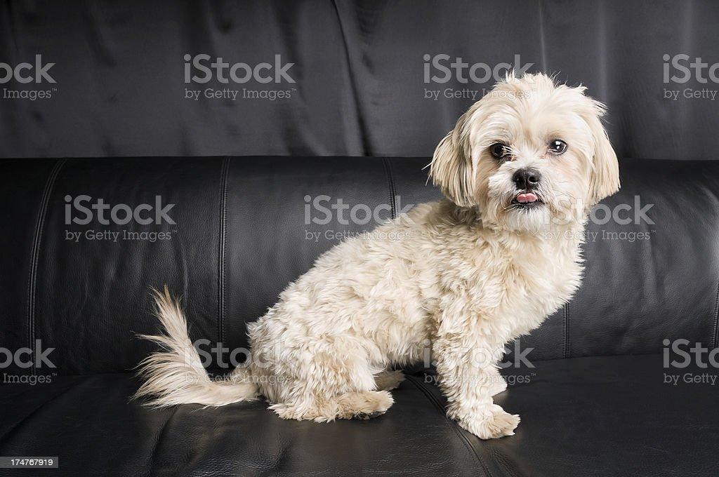 Happy White Shih Tzu Dog Sitting on Couch stock photo