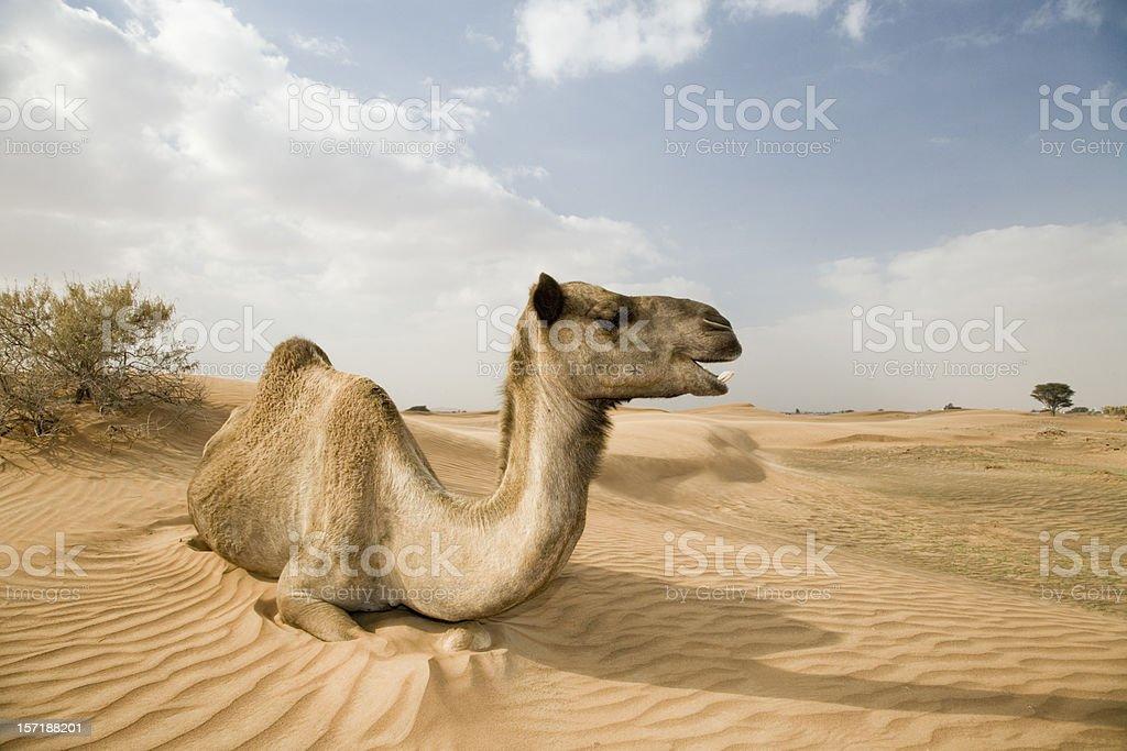 happy wild camel dromedary yawning royalty-free stock photo