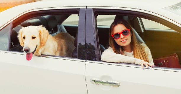Happy woman and Golden Retriever dog sitting in car looking out the window stock photo