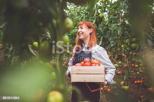 Happy Woman Picking Ripe Tomatoes In Greenhouse