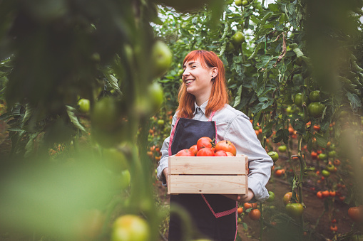 istock Happy Woman Picking Ripe Tomatoes 884844994