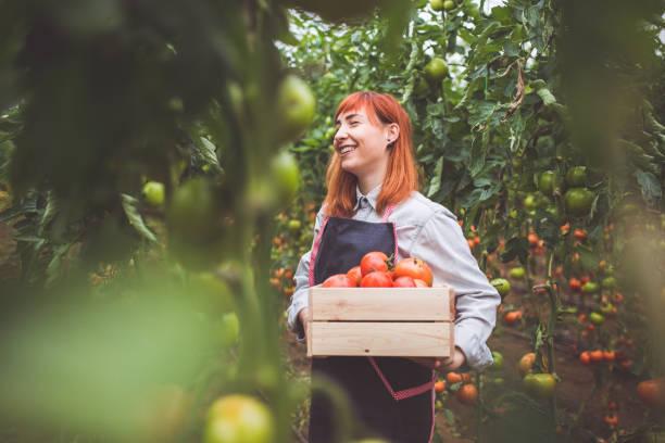 glückliche frau kommissionierung reife tomaten - bio lebensmittel stock-fotos und bilder